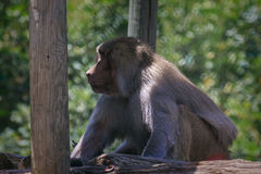 Pavian sitting and looking in zoo Royalty Free Stock Photo