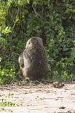 Pavian in Tansania Lizenzfreie Stockfotos