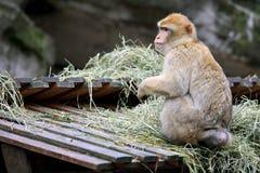 Pavian, welche nach Nahrung sucht Lizenzfreies Stockbild