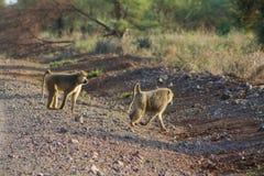 Pavianaffeweg auf Straße in Afrika-wild lebenden Tieren Stockfotos