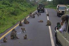 Paviane, die Verkehr im Ngorogoro Krater blocken Lizenzfreies Stockfoto
