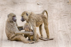 Paviane, Nationalpark Tarangire, Tansania, Afrika Lizenzfreie Stockfotos