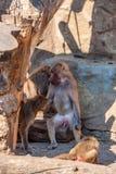 Paviane oder Papio hamadryas kümmern sich um einander Stockfoto