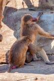 Paviane oder Papio hamadryas kümmern sich um einander Stockfotos