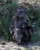 Paviane in Südafrika lizenzfreies stockbild