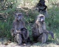 Paviane in Südafrika lizenzfreie stockbilder