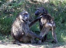Paviane in Südafrika lizenzfreie stockfotografie