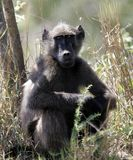 Paviane in Südafrika lizenzfreies stockfoto