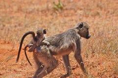 Pavianfallhammer mit Schätzchen Afrika Lizenzfreie Stockfotografie
