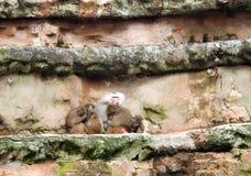 Pavianfamilie stockbild