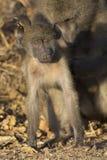 Pavianfamilienspiel und haben Spaß in der Natur Stockbilder