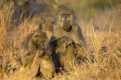 Pavianfamilienspiel und haben Spaß in der Natur Stockfotos