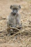 Pavianfamilienspiel und haben Spaß in der Natur Lizenzfreies Stockfoto