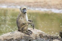 Pavianfamilienspiel und haben Spaß in der Natur Lizenzfreie Stockfotos