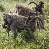 Pavianmutter, die durch die Savanne mit seinem Baby auf geht Stockbild