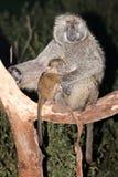Pavianmutter speist das Schätzchen, das in einem Baum sitzt Lizenzfreie Stockbilder