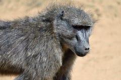 Pavianporträt, Namibia Stockfoto