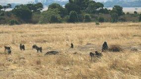 Paviantruppe, die auf Masai Mara Game Reserve geht stock video footage
