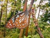 Pavilion. A beautiful butterfly was perched on a branch of a mountain in an outdoor forest Royalty Free Stock Photo