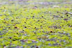 Pavimento com musgo verde-claro Imagem de Stock
