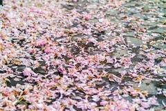 Pavimento cubierto por el pétalo rosado de Sakura Imagen de archivo libre de regalías