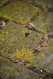 Pavimento de piedra mojado con el musgo Fotografía de archivo