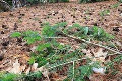 Pavimento dell'abetaia Immagini Stock Libere da Diritti