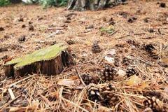 Pavimento dell'abetaia Fotografie Stock
