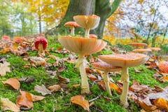 Pavimento della foresta con gli agarichi e le foglie di mosca nella caduta Fotografie Stock