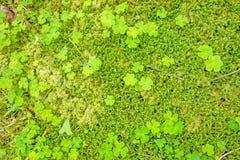 Pavimento della foresta con i trifoglii Fotografia Stock