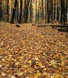 Pavimento della foresta di caduta Fotografia Stock