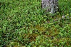 Pavimento della foresta in Norvegia Fotografie Stock