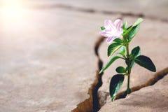 Pavimento della pianta sul concetto crescente della crepa immagini stock