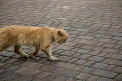 Pavimento que camina del gato sin hogar anaranjado de la calle Imagen de archivo