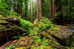 Pavimento in un muschio fertile della foresta della sequoia, felci, ceppi morti della foresta, fotografia stock libera da diritti