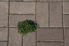 Paving Blocks with Weeds Stock Image