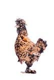 Pavlovian breed hen on white Royalty Free Stock Photo