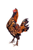 Pavlovian breed Rooster on white Royalty Free Stock Image