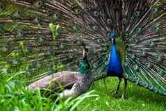 pavo ζευγαριού cristatus peacock Στοκ φωτογραφία με δικαίωμα ελεύθερης χρήσης