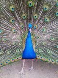 Pavo Royalty Free Stock Photos