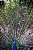 Pavão com cauda acima Fotos de Stock Royalty Free