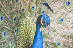 Pavo cristatus, Indian peafowl. Colorfull stock images