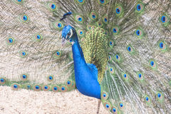 Pavo cristatus, Indian peafowl Stock Photography