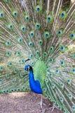 Pavo cristatus, paw brać głowa dalej Zdjęcie Royalty Free