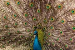 Peacock, Pavo cristatus. A farm bird stock photography