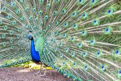 Free Pavo Cristatus, Peacock Taken Head On Royalty Free Stock Photography - 100490997