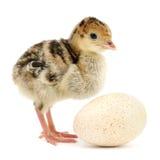 Pavo del pollo Foto de archivo libre de regalías