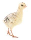 Pavo del pollo imágenes de archivo libres de regalías