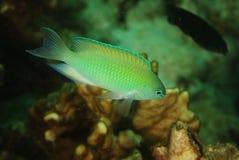 Pavo del Pomacentrus - mare di Andaman immagini stock