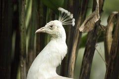 Pavo echte albino Royalty-vrije Stock Afbeeldingen